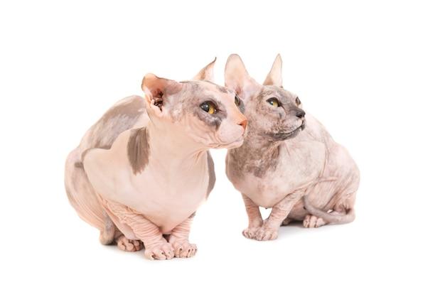 Zwei sitzende reinrassige sphinxkatzen lokalisiert auf weißem hintergrund. studioaufnahme der ukrainischen levkoy-rasse