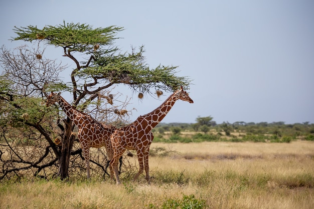 Zwei somalische giraffen fressen die blätter von akazienbäumen