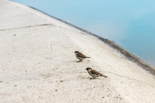 Zwei spatzen auf asphalt entlang des sees warten darauf, gefüttert zu werden