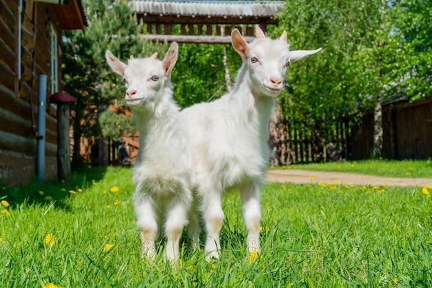 Zwei süße kleine weiße ziege. sommerhaustier auf dem bauernhof.