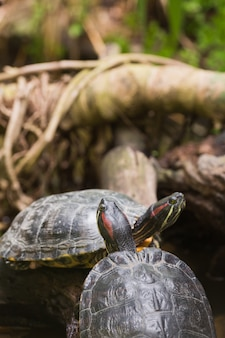 Zwei sumpfschildkröten