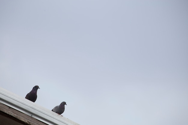 Zwei tauben auf dem dach mit platz.