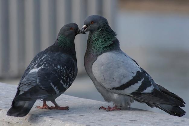 Zwei tauben lieben