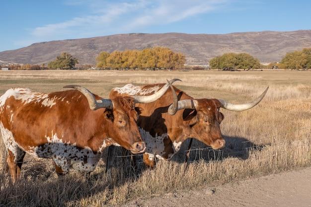 Zwei texas longhorn steuern