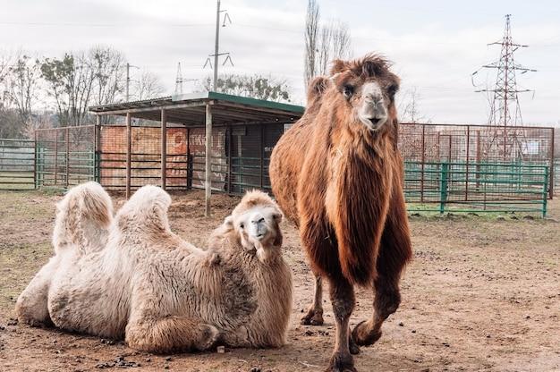 Zwei trampeltiere ruhen in ihrer koppel auf dem bauernhof. camelus bactrianus, ein großes huftier, das in den steppen zentralasiens lebt.