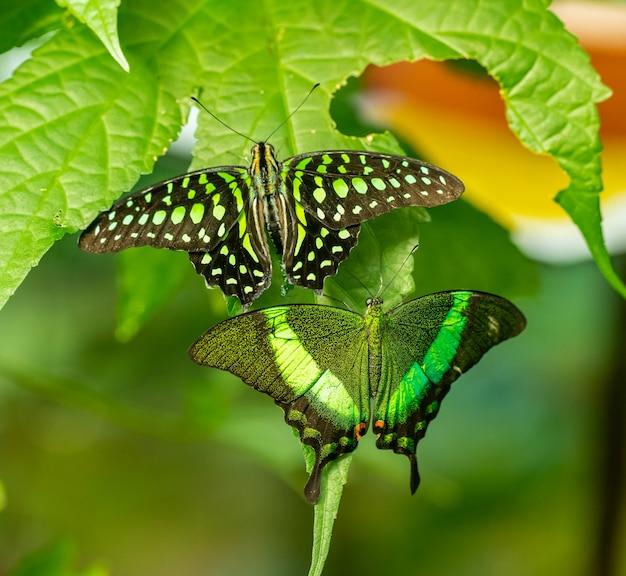 Zwei tropische schmetterlinge emerald swallowtail (papilio palinurus) und tailed jay (graphium agamemnon) sitzen nebeneinander auf blatt, tierinsekten-makro