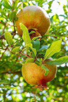 Zwei unreife granatäpfel auf einem ast