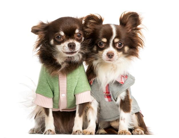 Zwei verkleidete chihuahua sitzen nebeneinander, isoliert auf weiß
