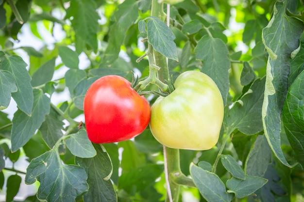 Zwei wachsende tomaten herzform, rot und grün