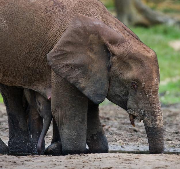 Zwei waldelefanten trinken wasser aus einer wasserquelle. zentralafrikanische republik. republik kongo. dzanga-sangha special reserve.