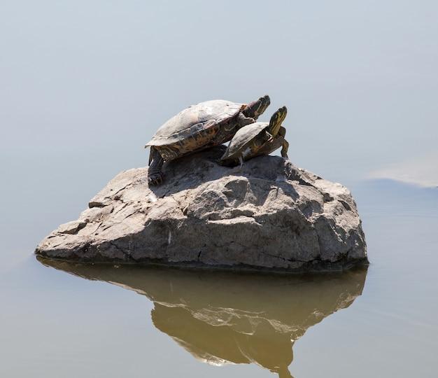 Zwei wasserschildkröten auf dem felsen