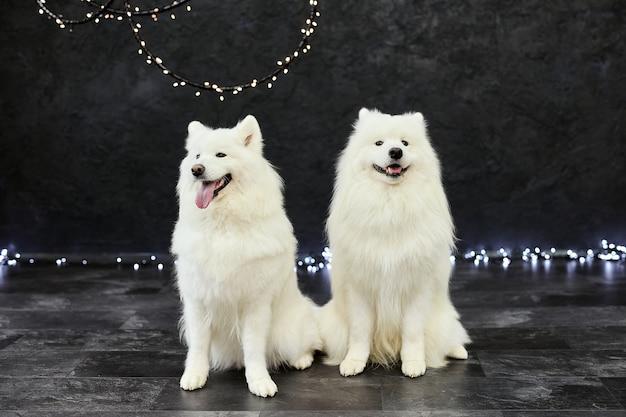 Zwei weihnachtshunde samojede. weihnachten, winterkonzept.