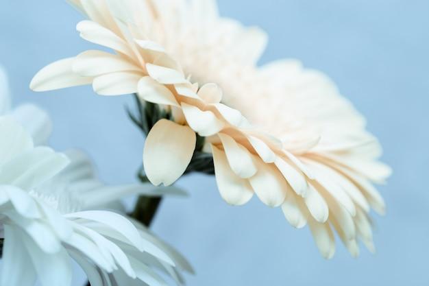 Zwei weiß gefärbte gerbera-blumen schließen oben über blau. natürlicher blumiger hintergrund mit kopienraum. abstrakte schönheit in der natur. selektiver fokus.