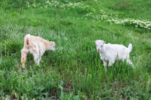 Zwei weiße babyziegen im grünen gras der wiese.