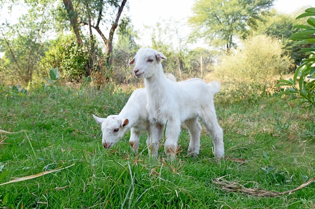 Zwei weiße babyziegen stehen in einem sommer