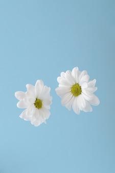 Zwei weiße chrysanthemenblüten in der luft auf blauem grund. frühling, der stilllebenkonzept verbindet.