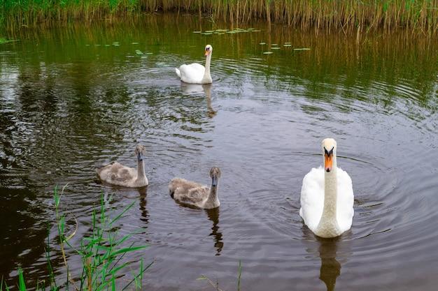 Zwei weiße erwachsene und zwei kleine schwanenbabys schwimmen im wasser. familie der schwäne am see usmas in lettland