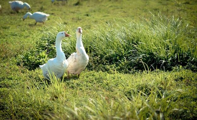 Zwei weiße gans im gras