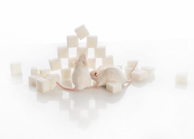 Zwei weiße labormäuse nahe der pyramide des zuckerwürfel-diabeteskonzeptes