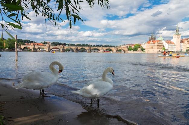 Zwei weiße schwäne mit hintergrund der karlsbrücke über die moldau, prag, tschechien?