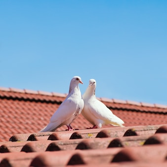 Zwei weiße tauben auf rotem ziegeldach gegen klaren blauen himmel. liebes- und hochzeitskonzept. taube vögel.