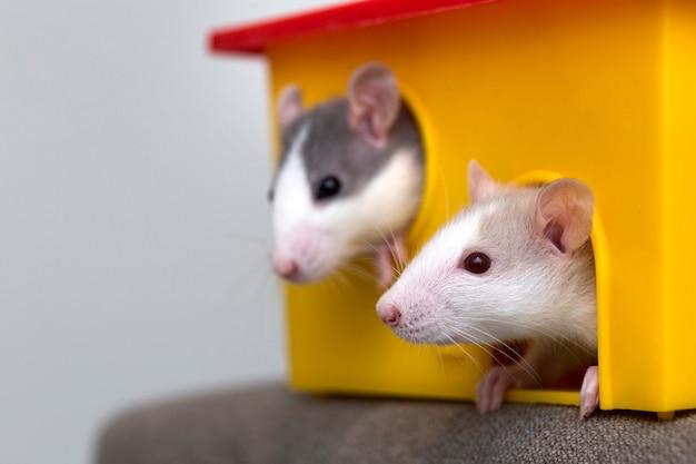 Zwei weiße und graue hamster, die vom gelben käfigfenster schauen