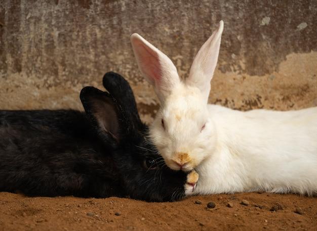 Zwei weiße und schwarze kaninchen oder hasen oder hasen, die auf dem boden ruhen