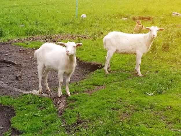 Zwei weiße ziegen, die von der sonne beleuchtet werden, grasen auf dem grünen gras. handyfoto.