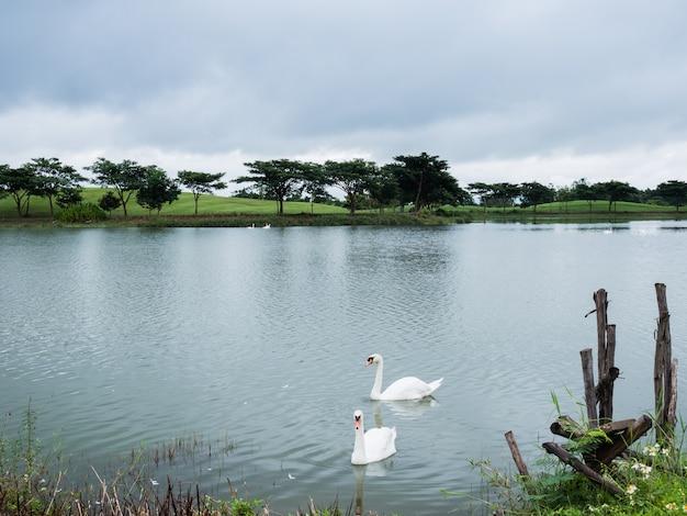 Zwei weißer schwan auf dem see