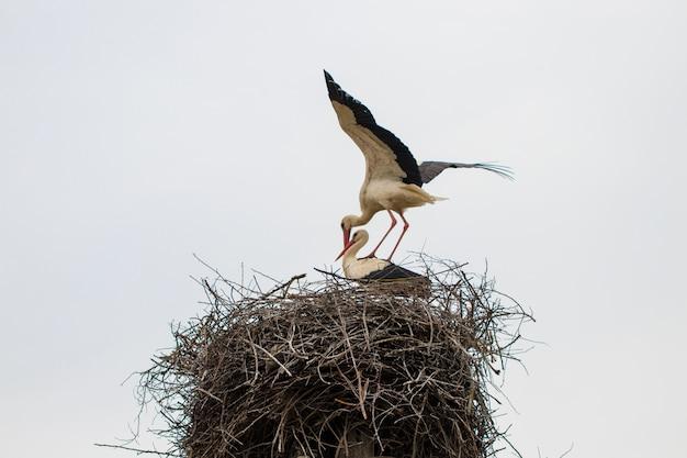 Zwei weißstorche ciconia ciconia paaren sich im nest