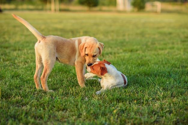Zwei welpen, die auf einem grünen gras draußen spielen