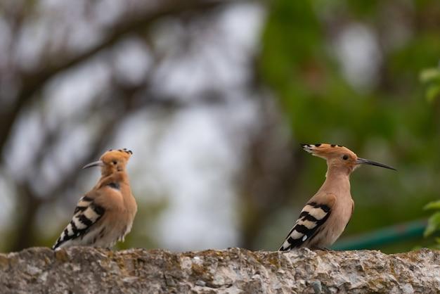Zwei wiedehopf upupa epops in freier wildbahn.