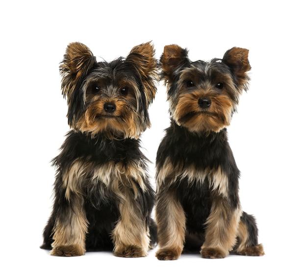 Zwei yorkshire-terrier vor einer weißen wand