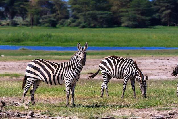 Zwei zebras am ufer des teiches. kenia, afrika