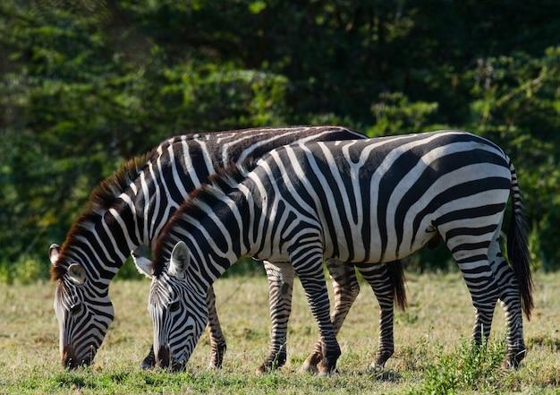Zwei zebras in der savanne. kenia. tansania. nationalpark. serengeti. maasai mara.