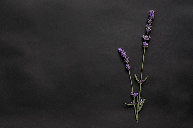 Zwei zweige lavendel auf einer schwarzen oberfläche