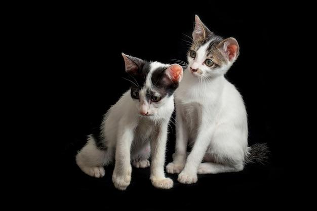 Zwei zwillings-hauskätzchenkatze lokalisiert auf schwarz