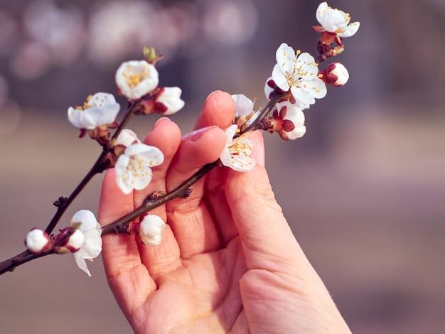 Zweig blühender aprikosen in der hand.