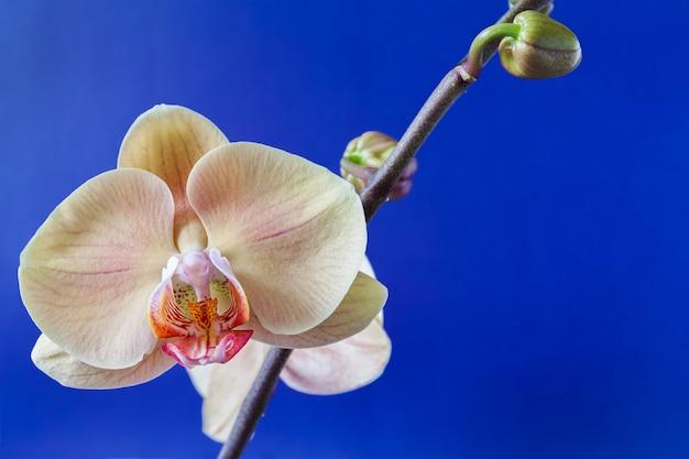 Zweig der beige orchidee und der knospen auf blau. nahaufnahme, vorgewählter fokus