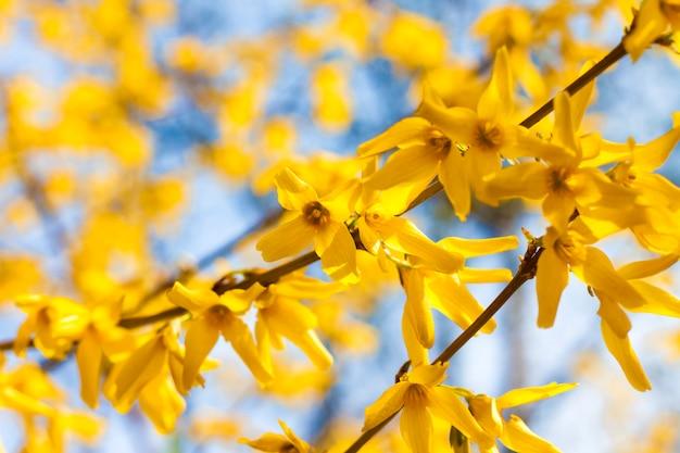 Zweig der blühenden forsythia-nahaufnahme auf blauem himmel