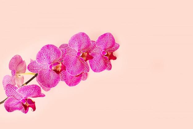Zweig der blühenden rosa orchidee nah oben