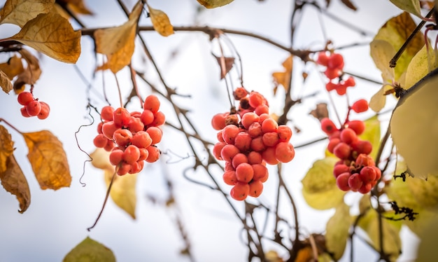 Zweig der chinesischen magnolienrebenbeeren