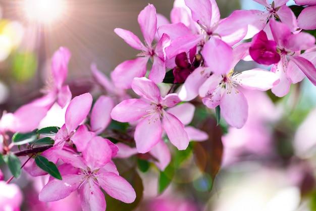 Zweig der dekorativen kirsche mit rosafarbenen blumen