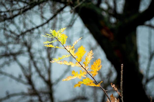 Zweig der eiche mit gelben blättern gegen dunkle schattenbilder der bäume im herbstwald