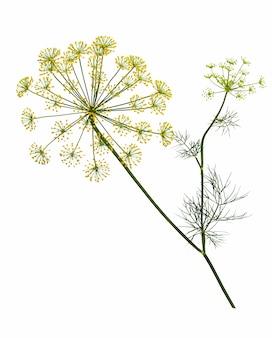 Zweig der frischen grünen dillkrautblätter isoliert auf weißem hintergrund. blühende pflanze dill.
