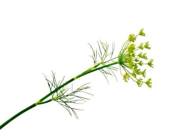 Zweig der frischen grünen dillkrautblätter isoliert auf weißem hintergrund.