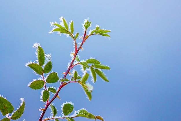 Zweig der hunderose mit blättern, bedeckt mit frost