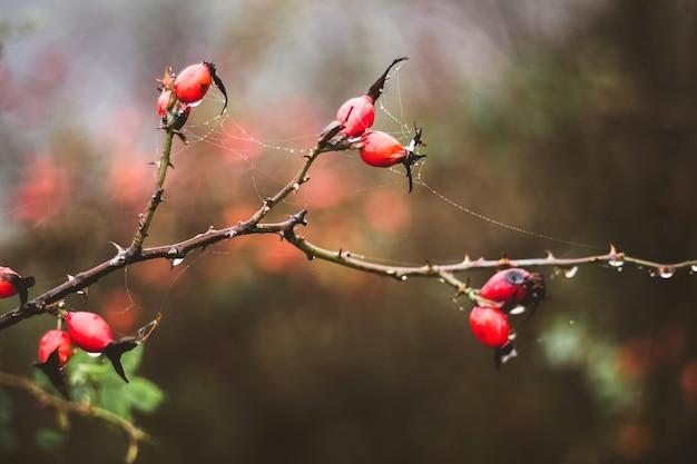 Zweig der hunderose mit roten beeren im dunkeln im herbst