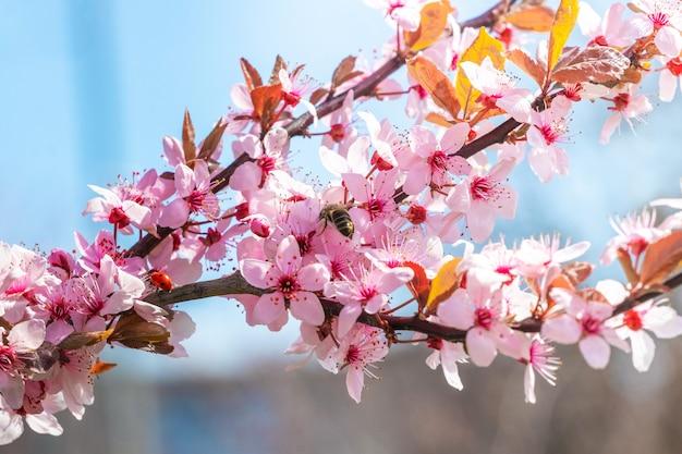 Zweig der japanischen kirsche mit rosa blumen im sonnigen tag auf blauem himmelhintergrund