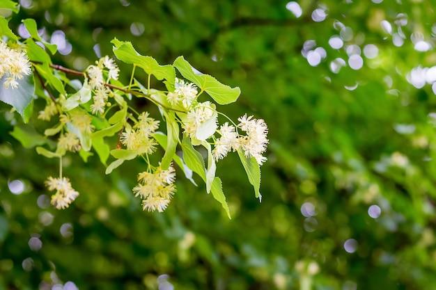 Zweig der linde mit blumen auf dem hintergrund der grünen blätter